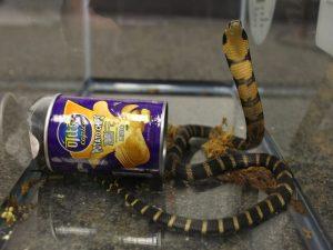 cobra shipped in potato chip can
