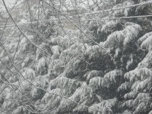 Pic: Snow Covered Pines - Creative Commons - by Lucy Meade